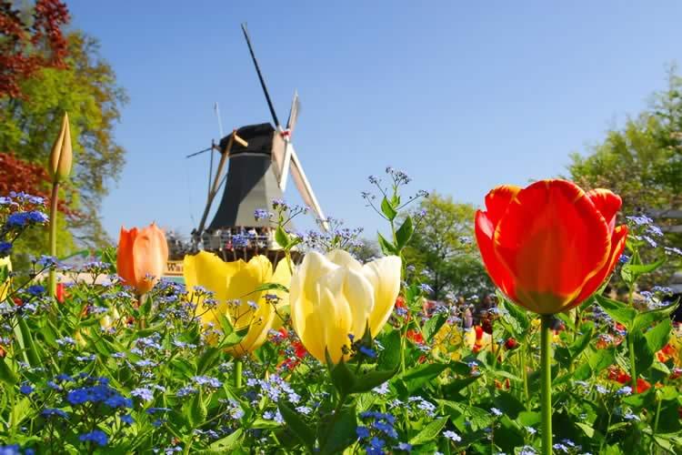 Tulip & Windmill