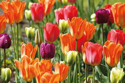 Holland and the Dutch Bulb Fields »