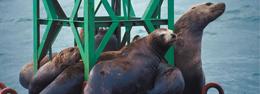Lobos marinos en Alaska