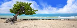 Divi Divis en Aruba