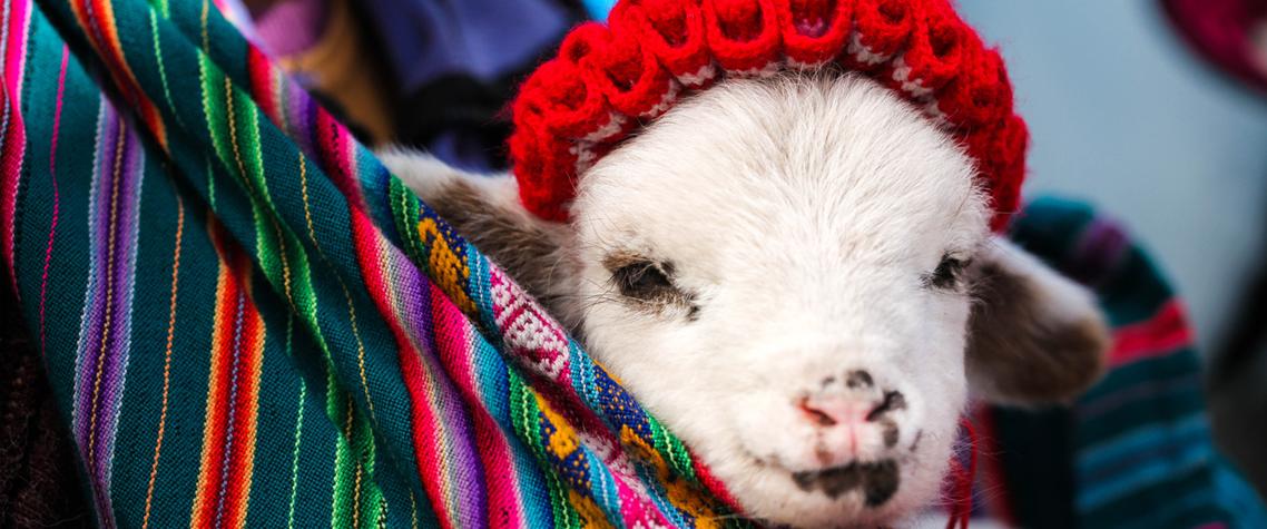 Baby Alpaca Peru