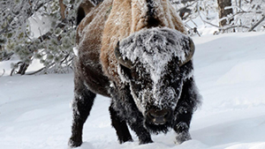 Nat Geo Winter in Yellowstone Photo Expedition
