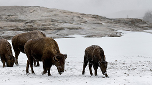 Nat Geo Winter Wildlife in Yellowstone