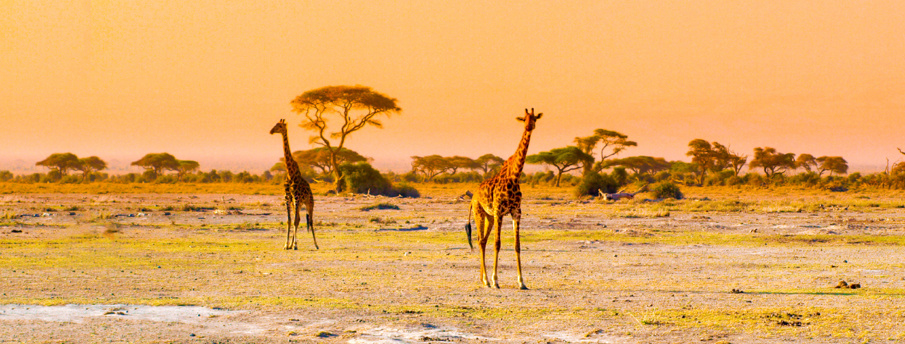 giraffes in African savanna