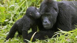 Nat Geo The Great Apes of Uganda and Rwanda
