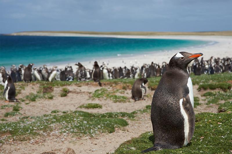 Ilhas Falkland - pinguins de Magalhães