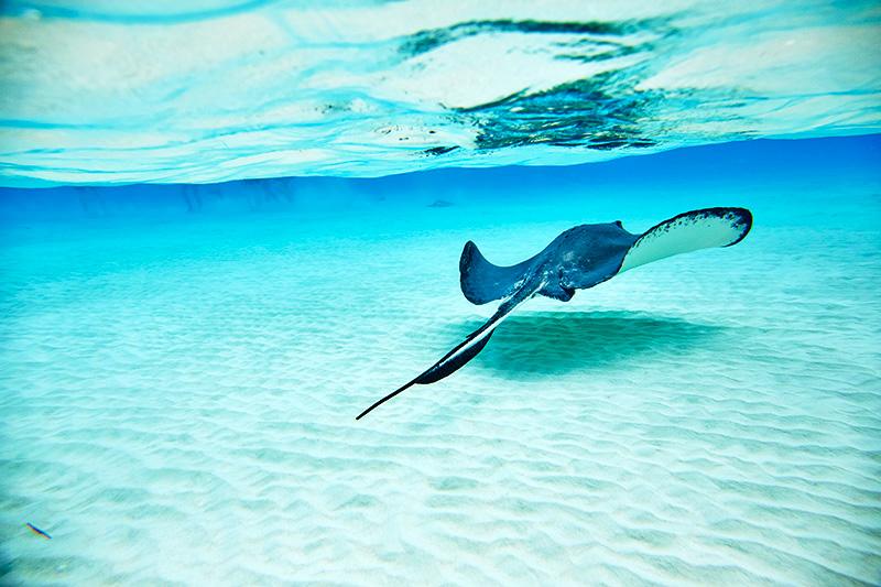 Arraia em Grand Cayman